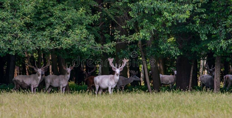 在比赛储备, bacgroung的森林的一些庄严白色和棕色鹿 库存图片