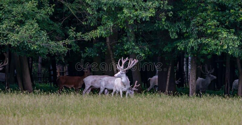在比赛储备, bacgroung的森林的一些庄严白色和棕色鹿 图库摄影