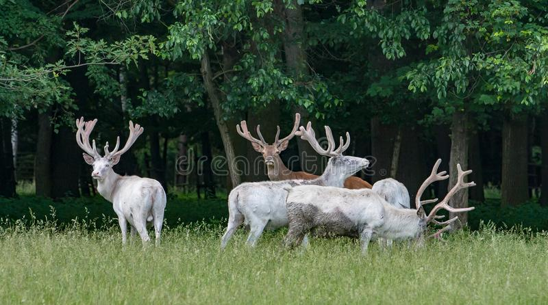 在比赛储备, bacgroung的森林的五头庄严白色鹿 图库摄影