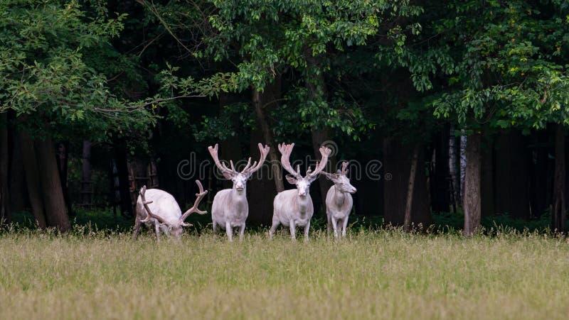 在比赛储备, bacgroung的森林的四头庄严白色鹿 库存照片