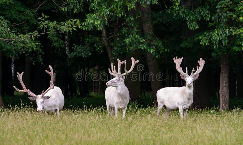 在比赛储备, backgroung的森林的三头庄严白色鹿 免版税图库摄影