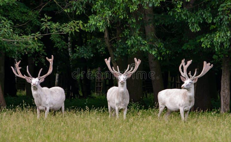 在比赛储备, backgroung的森林的三头庄严白色鹿 免版税库存照片