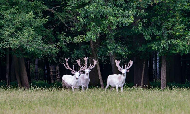 在比赛储备, backgroung的森林的三头庄严白色鹿 免版税库存图片
