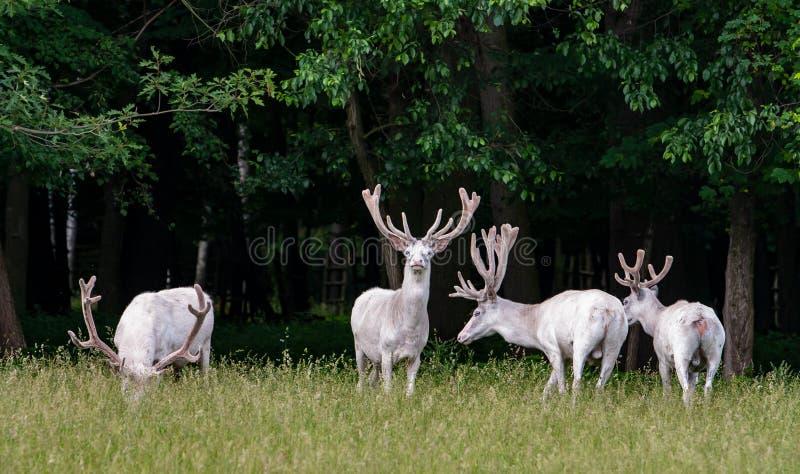 在比赛储备, backgroung的森林的四头庄严白色鹿 免版税库存图片