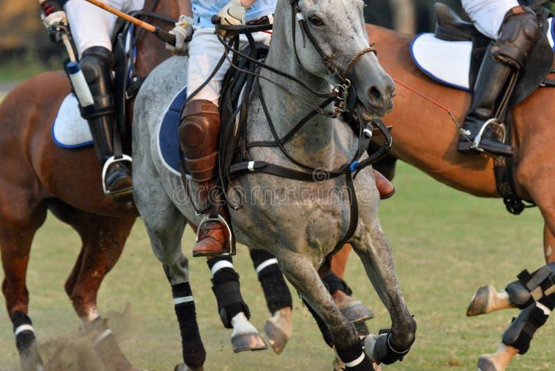 在比赛跑的马马球 免版税图库摄影