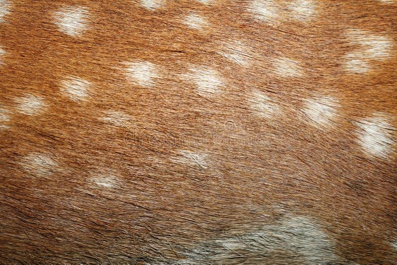 在毛皮的小鹿斑点 库存图片