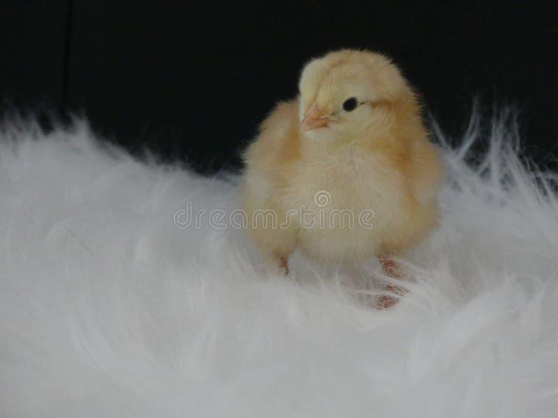 在毛皮brahma孵化的黄色小鸡新 库存照片