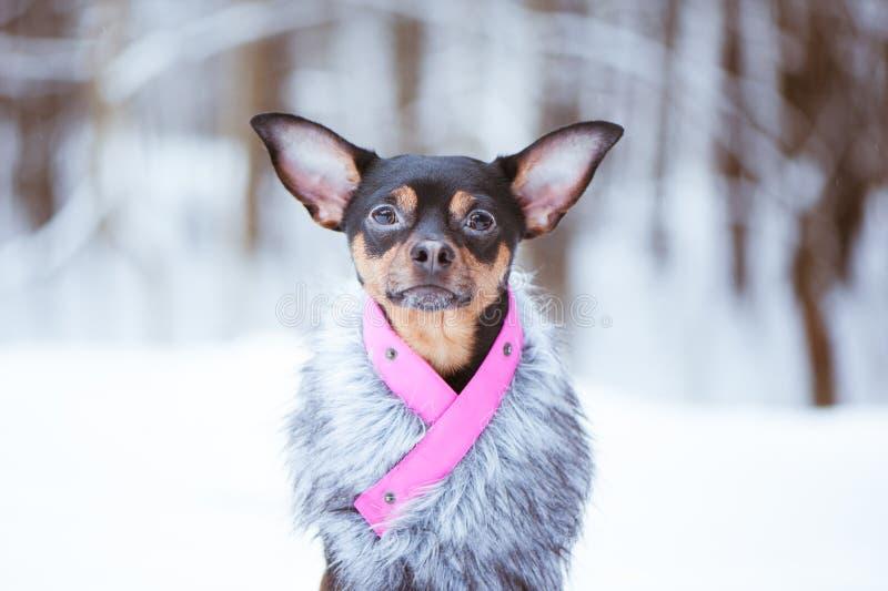 在毛皮coatr的可爱的狗在冬天森林里 库存图片