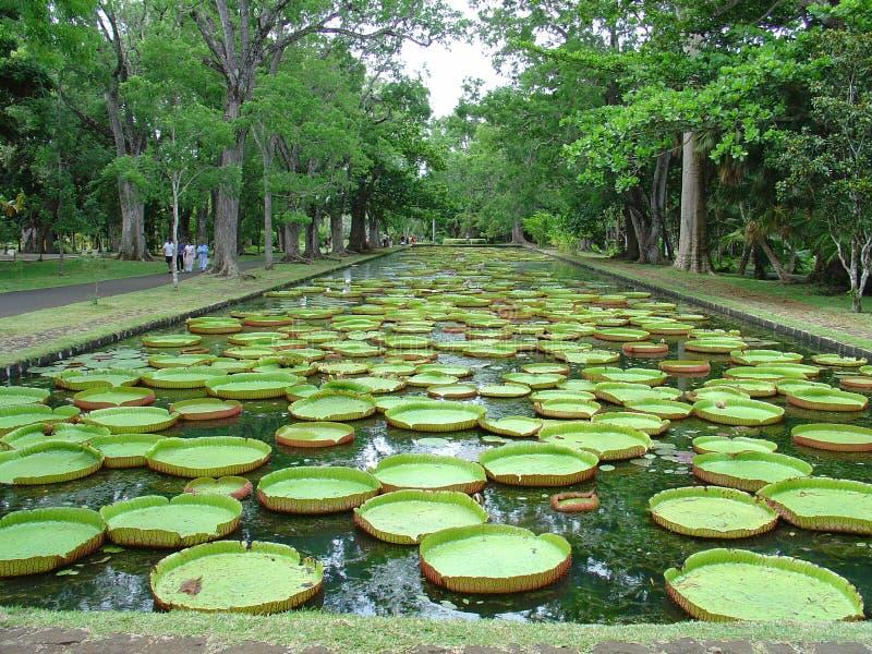 在毛里求斯葡萄柚parc的Nénuphares 免版税库存图片