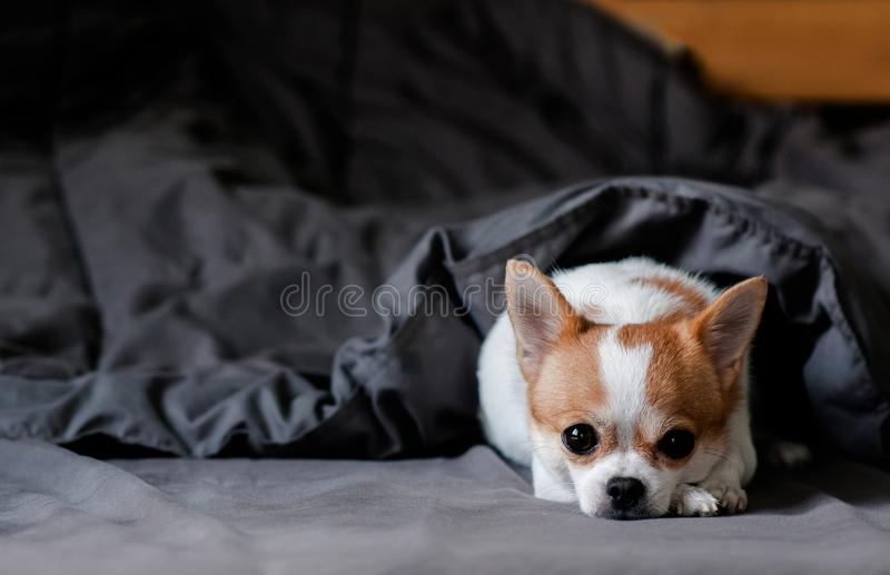 在毯子下的乏味逗人喜爱的奇瓦瓦狗狗在床上 免版税库存照片