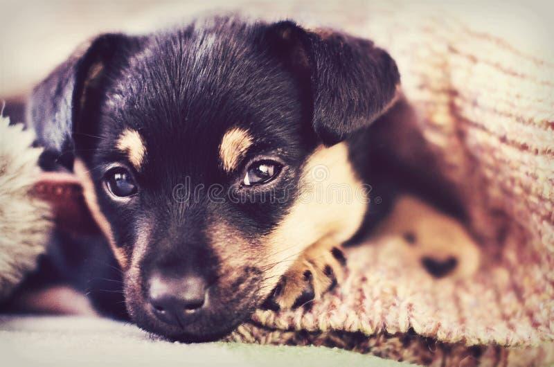 在毯子下的逗人喜爱的小狗 免版税库存图片