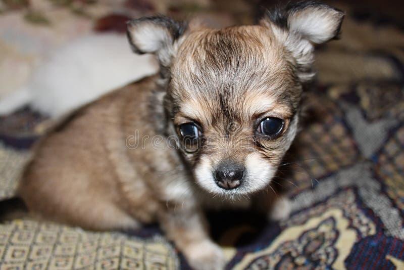 在毯子的奇瓦瓦狗小狗 免版税库存图片