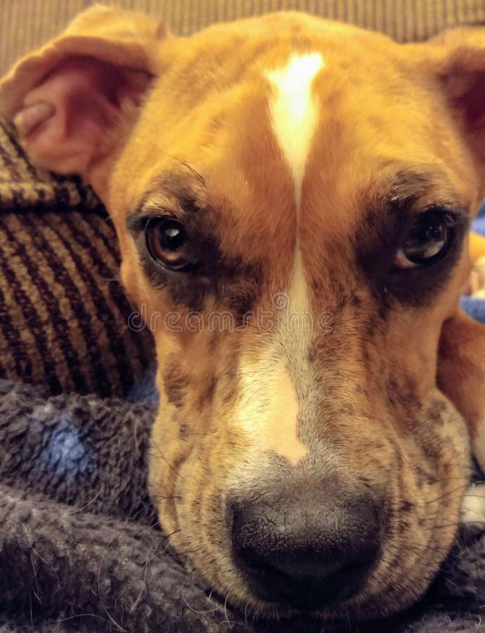 在毯子的布朗澳大利亚牧羊人拳击手狗混合 免版税图库摄影