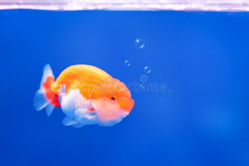 在水下的背景的金黄鱼与泡影 补全颜色 图库摄影