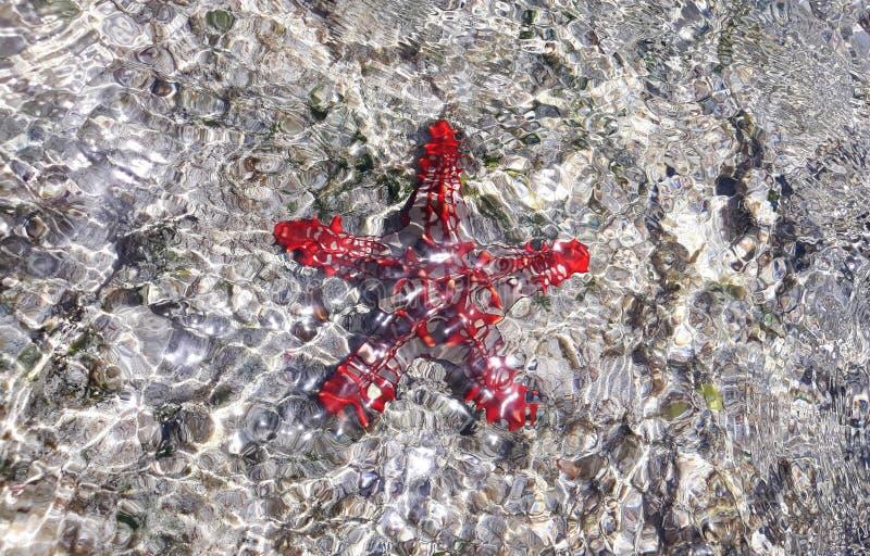 在水下的非洲红色有节的海星 库存照片