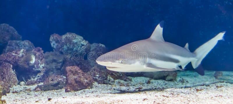 在水下的黑技巧礁石鲨鱼游泳,热带在从印度人和太平洋的被威胁的鱼硬币附近 库存照片