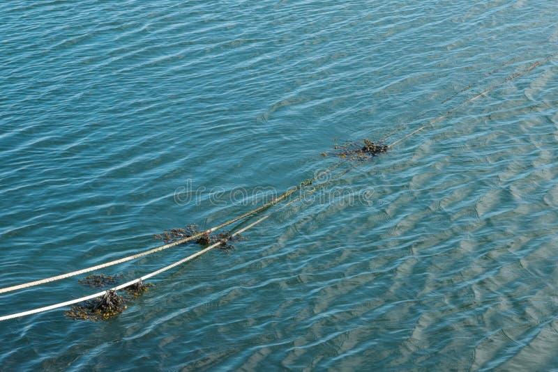 在水中停泊绳索与海草在钓鱼海港 图库摄影