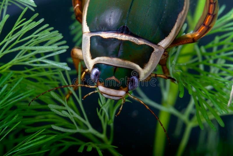 在水之下的水生甲虫潜水昆虫生活池&# 库存照片