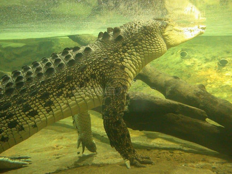在水之下的鳄鱼 库存照片
