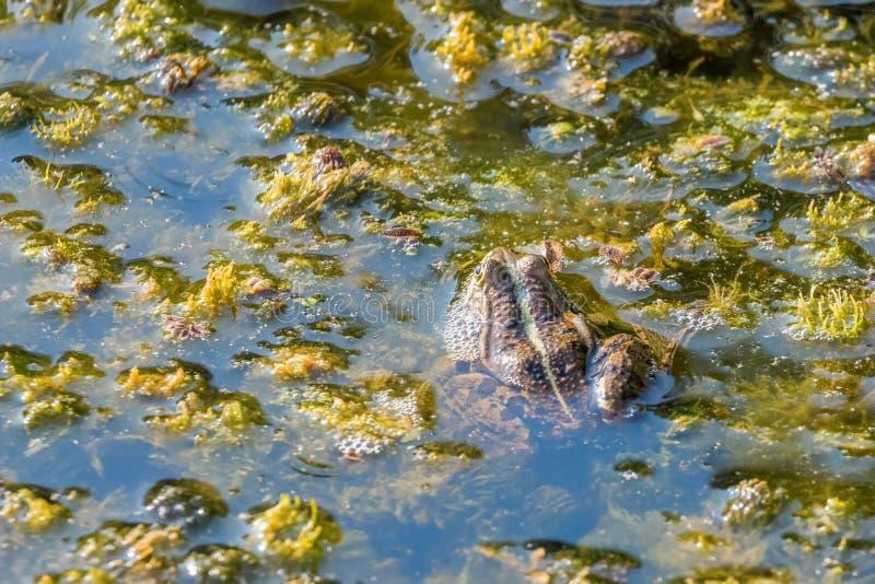 在水关闭的青蛙看法 免版税库存照片