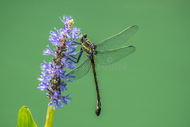在水厂的蜻蜓 库存图片