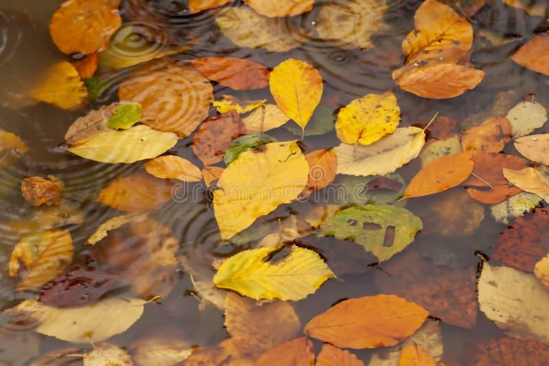 在水坑和雨珠的被染黄的叶子 秋天概念照片 免版税库存图片