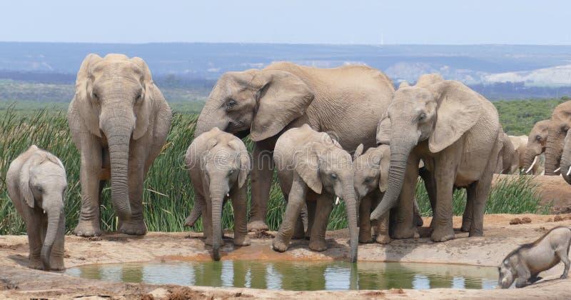 在水坑的大象家庭 免版税库存照片