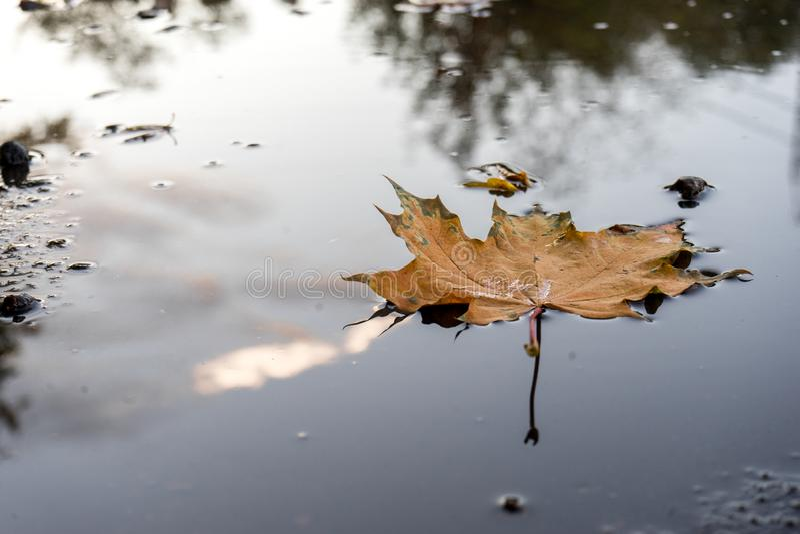 在水坑的秋天黄色枫叶在沥青 库存照片