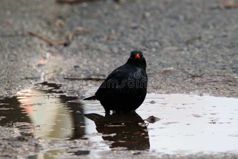 在水坑的黑鹂 图库摄影