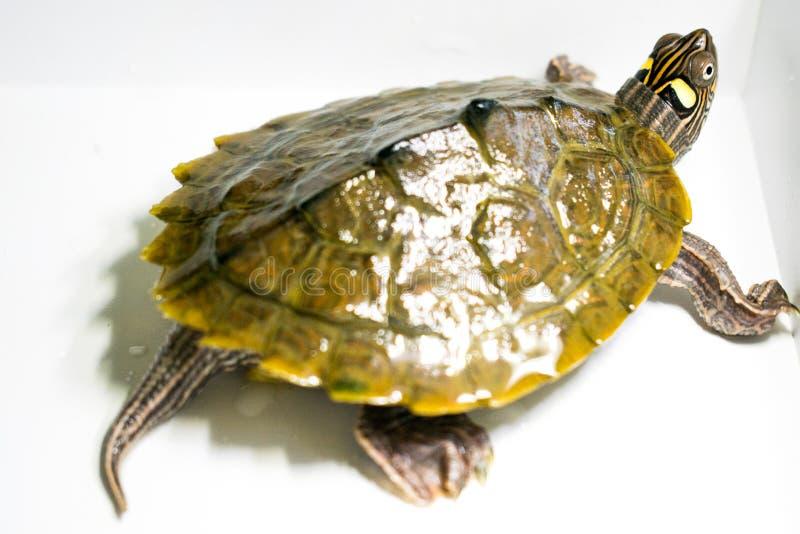 在水居住在白色背景的一只美丽的乌龟 免版税库存图片