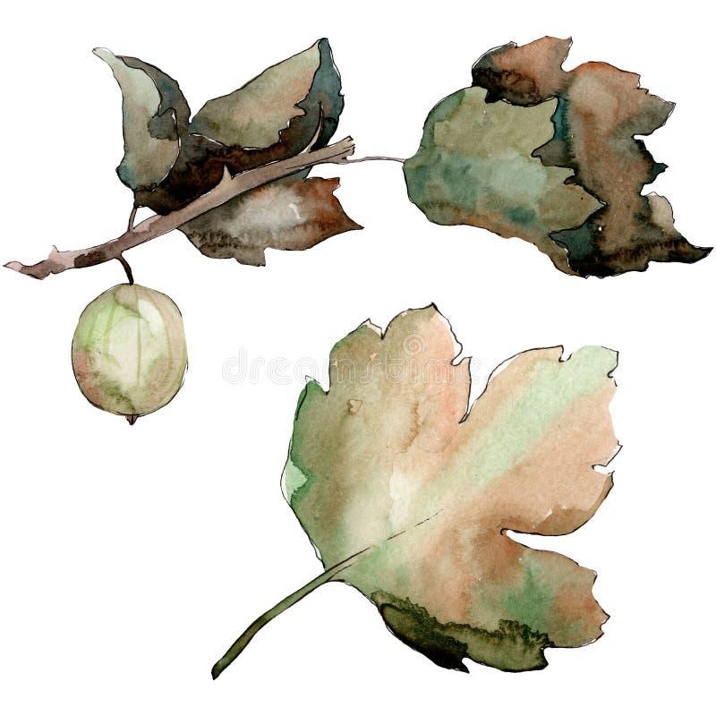 在水彩样式的鹅莓健康食品被隔绝的 r 被隔绝的莓果例证元素 皇族释放例证