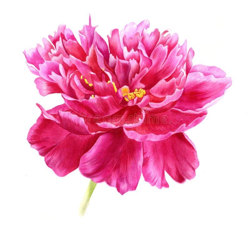 在水彩的桃红色牡丹 手拉的植物的例证 免版税库存照片