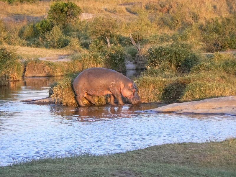 在水徒步旅行队的河马在肯尼亚 免版税库存图片
