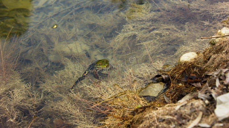 在水放松下的青蛙 库存图片