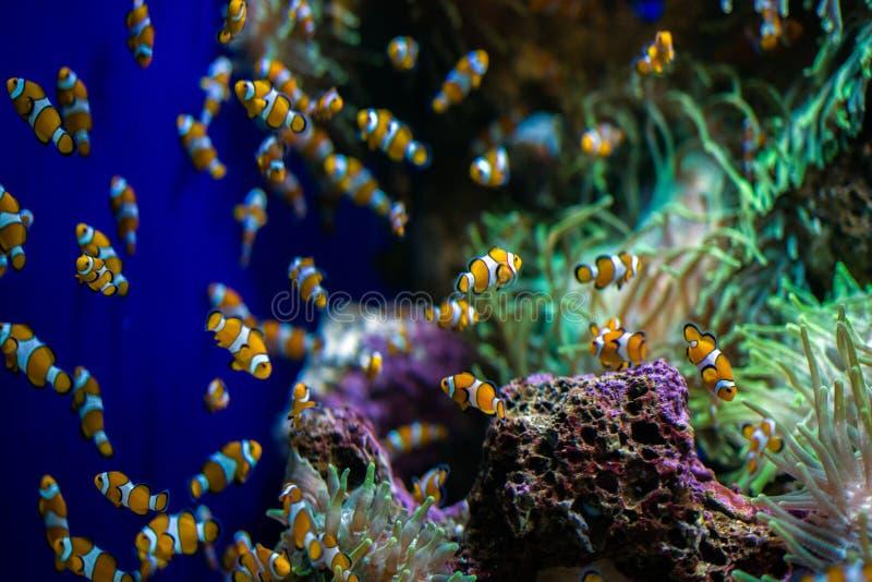 在水族馆的多小丑鱼鱼游泳 免版税库存图片