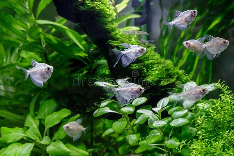 在水族馆的小鱼在绿色背景 免版税库存图片