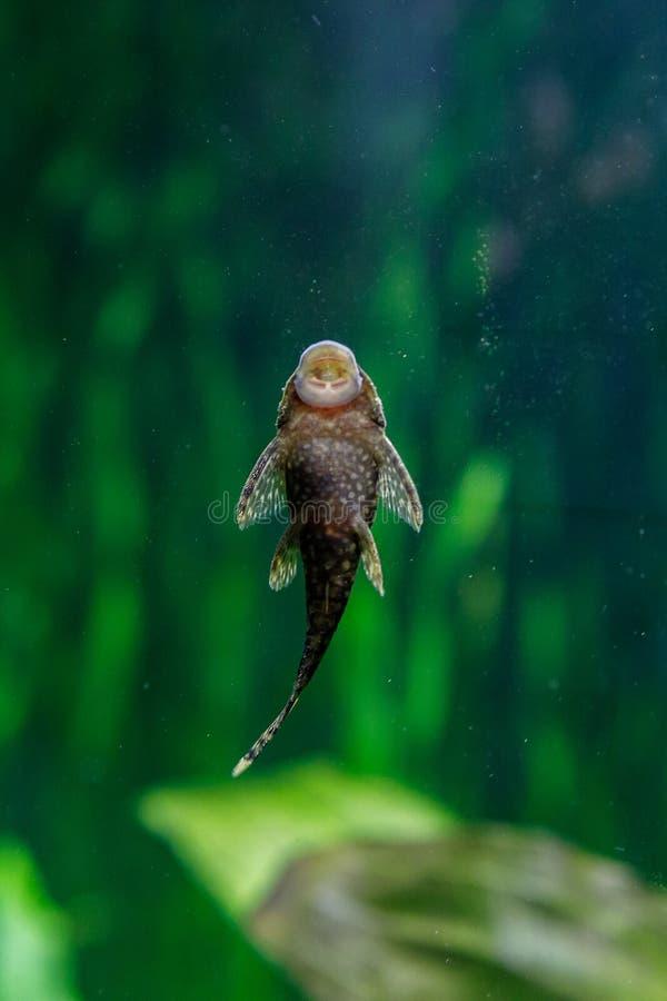 在水族馆的小鱼在绿色背景 免版税库存照片