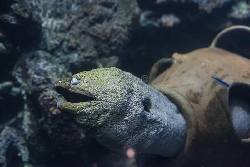 在水族馆的巨型海鳗鱼Gymnothorax javanicus 免版税库存照片