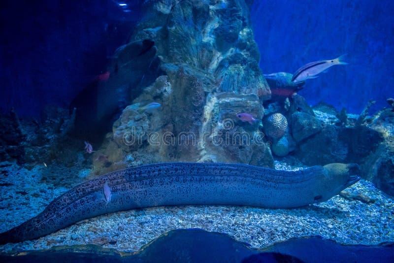 在水族馆的巨型海鳗 免版税库存照片