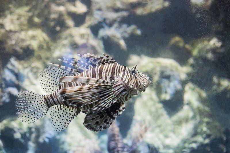 在水族馆的恶魔蓑鱼Pterois英里热带鱼 免版税库存照片