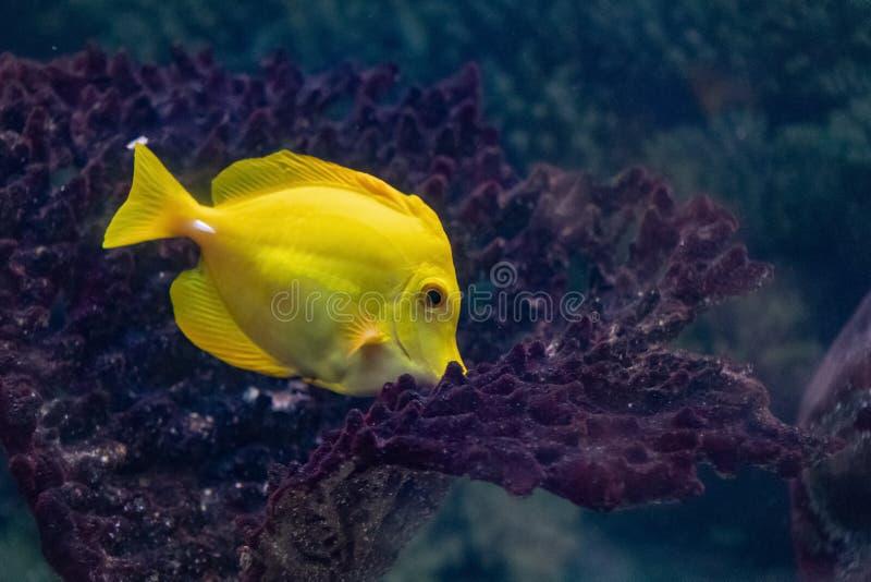 在水族馆的明亮的珊瑚鱼Zebrasoma黄色 图库摄影
