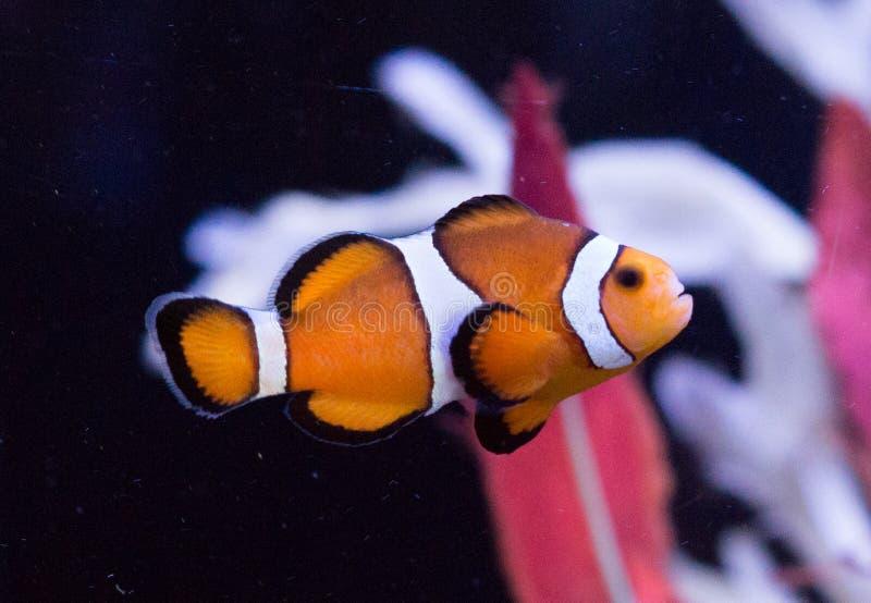 在水族馆的橙色clownfish 免版税库存照片