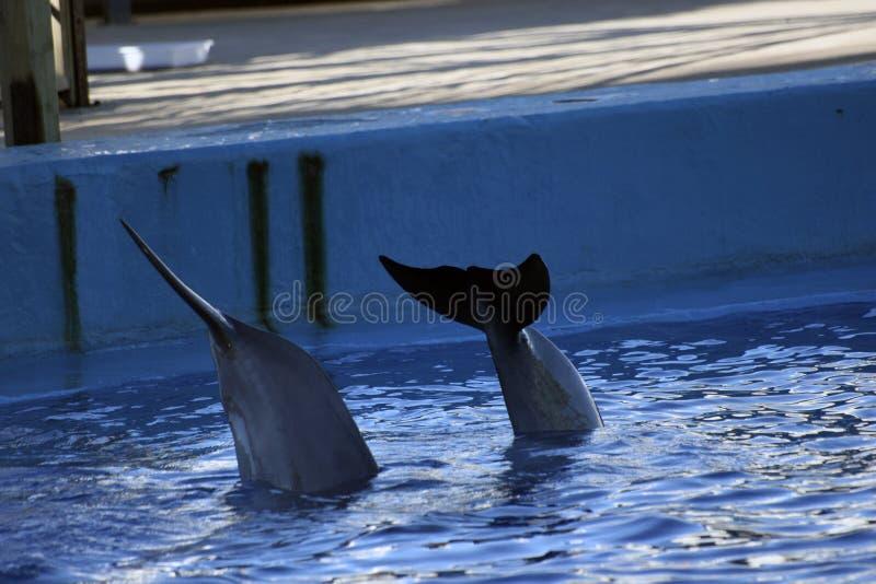 在水族馆的海豚尾巴 库存图片