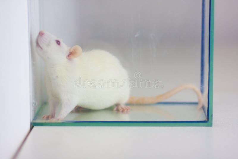 在水族馆的白色鼠 在玻璃后的老鼠 ?? 免版税库存照片