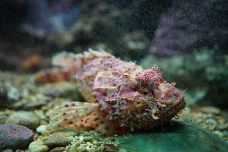 在水族馆的礁石石头鱼 免版税库存照片