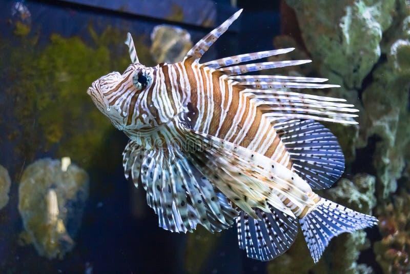 在水族馆的红色蓑鱼pterrois volitans危险鱼 免版税库存照片