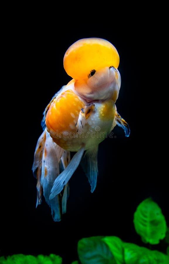 在水族馆的美丽和典雅的金鱼浮游物有绿色植物和石头的,特写镜头,命名了`白棉布冠Pearlscale金鱼` 库存图片
