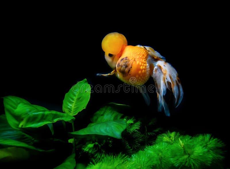 在水族馆的美丽和典雅的金鱼浮游物有绿色植物和石头的,特写镜头,命名了`白棉布冠Pearlscale金鱼` 图库摄影