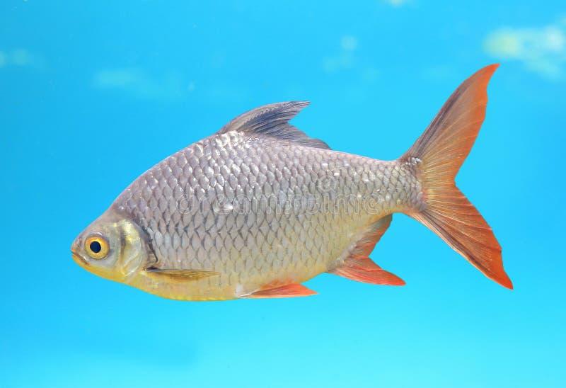 在水族馆的美好的银色倒钩游泳 免版税库存图片