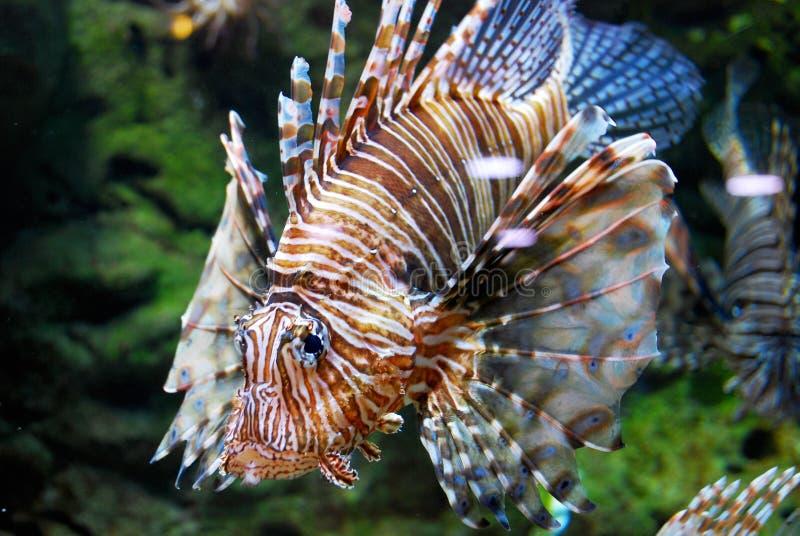 在水族馆的蓑鱼 免版税库存照片